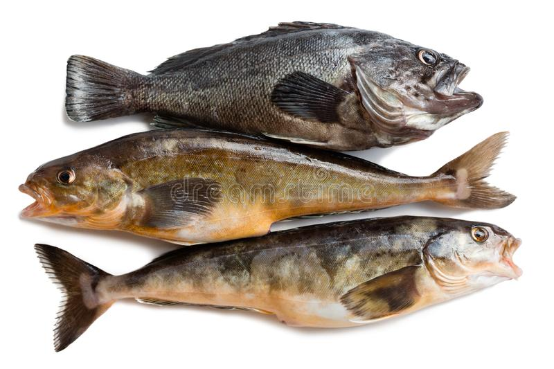 Fresh sea fishes Hildendorf bass and Arabesque greenling bass. Freshly caught sea fishes Hildendorf bass and Arabesque greenling bass, is found in the seas of royalty free stock photos