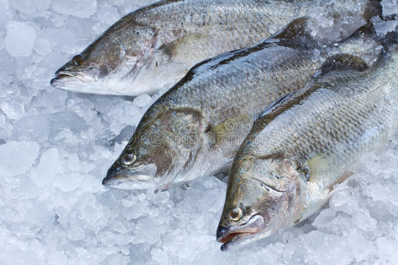 Fresh Seabass. Chilled on ice royalty free stock photography