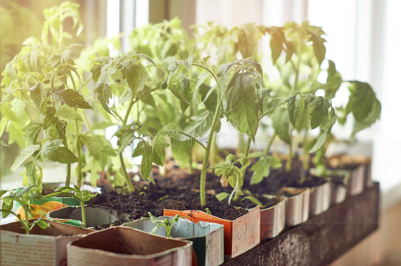 Fresh seedlings growing on window sill stock images