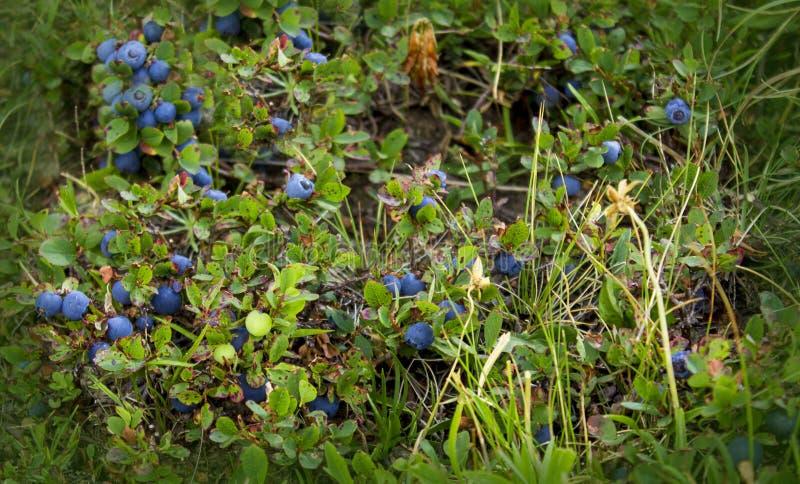 Fresh Shaded Blueberries Ripening On Bush. Close up stock photos