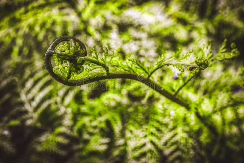 Fresh shoot of fern leaf stock photo