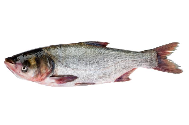 Fresh silver carp fish stock photography