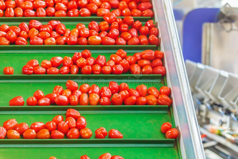 Fresh small tomatoes on a green conveyor belt in a Dutch greenhouse. Ready for further processing stock photography