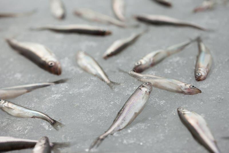 Fresh smelt fish on the snow. Group of fresh smelt fish on the snow royalty free stock images