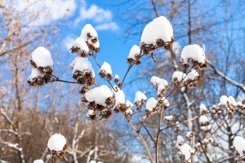 Fresh snow on dried burdock close-up in forest royalty free stock photos