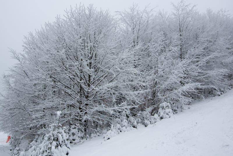 Fresh snow on spruce branch, Bila, Czech Rebublic. Europe royalty free stock photography