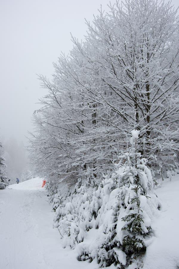 Fresh snow on spruce branch, Bila, Czech Rebublic. Europe royalty free stock photos