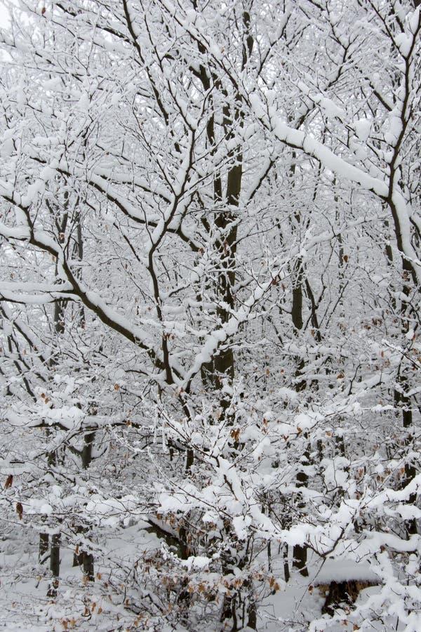 Fresh snow on spruce branch, Bila, Czech Rebublic. Europe royalty free stock image
