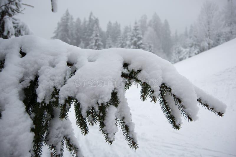 Fresh snow on spruce branch, Bila, Czech Rebublic. Europe stock photography