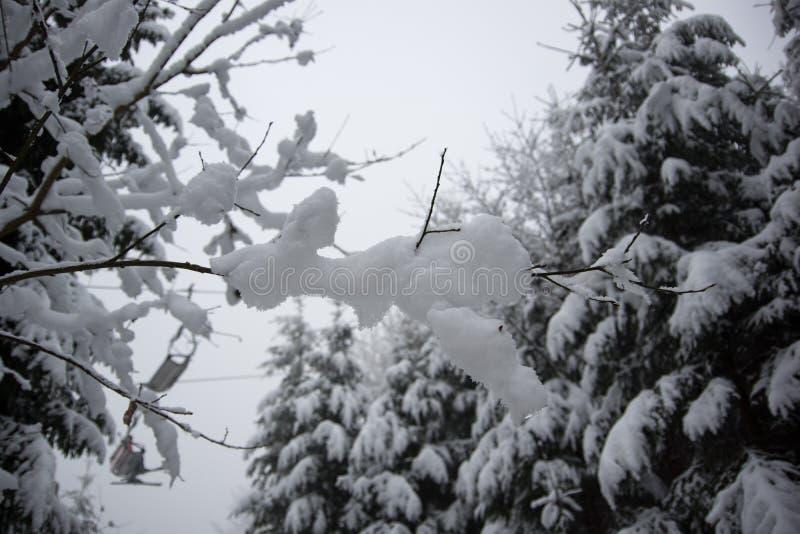 Fresh snow on spruce branch, Bila, Czech Rebublic. Europe stock image