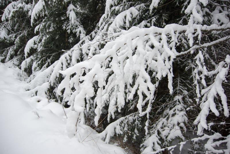 Fresh snow on spruce branch, Bila, Czech Rebublic. Europe stock photo