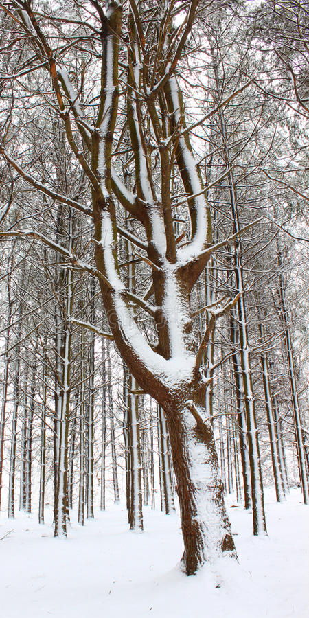 Download Fresh snowfall in Illinois stock image. Image of forest - 19039129