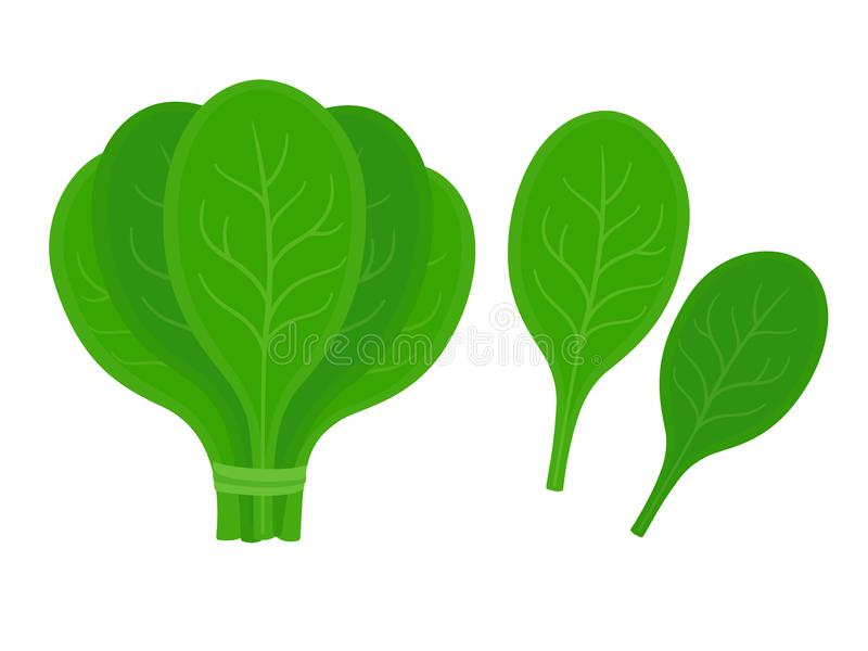 Fresh spinach leaves stock illustration