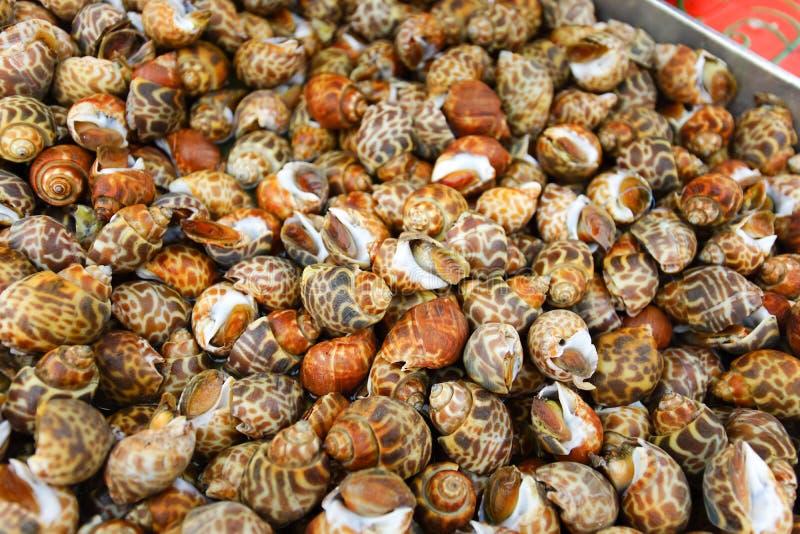 Fresh Spiral babylon snail stock images