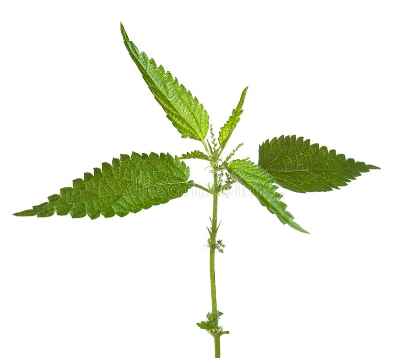 Fresh sprig of stinging nettle Urtica dioica isolated on white background.  stock photo