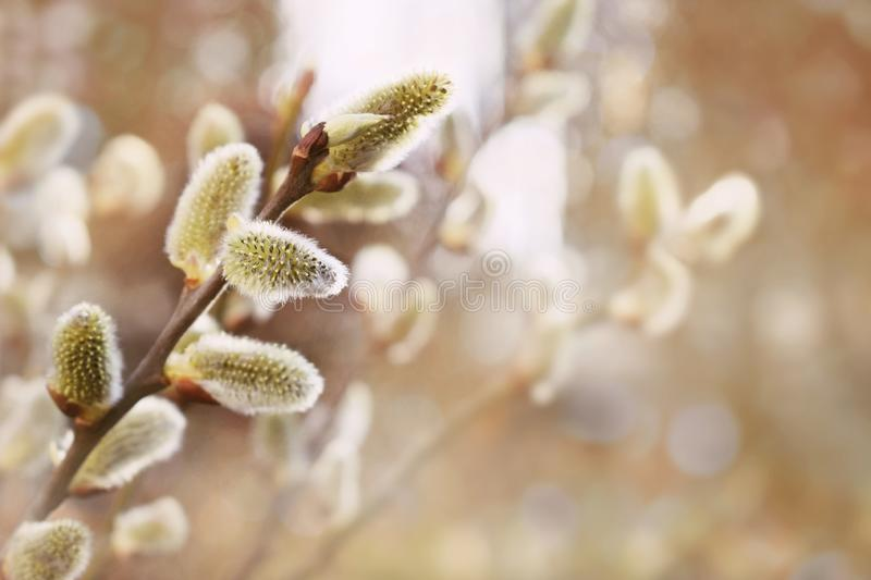 Fresh spring catkin branches stock photos