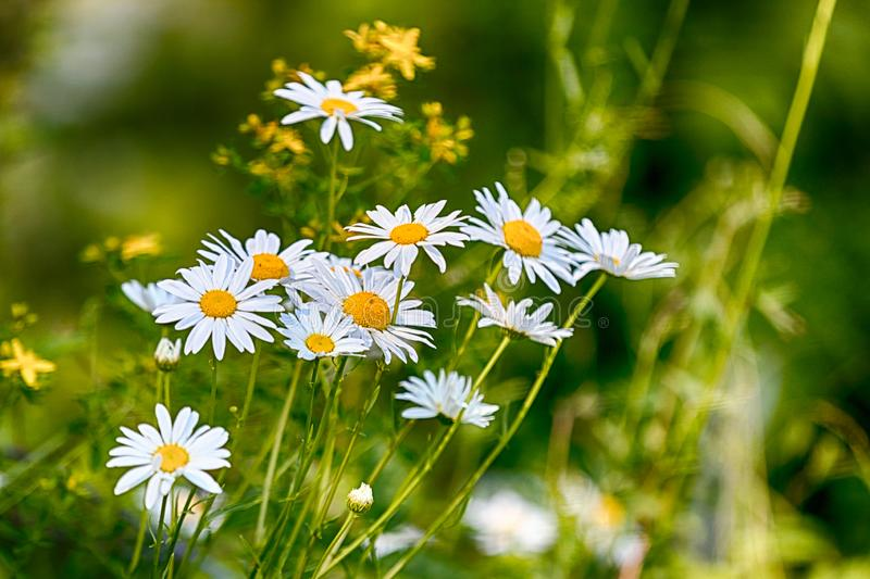 Fresh spring daisies growing in a lush green field royalty free stock photography