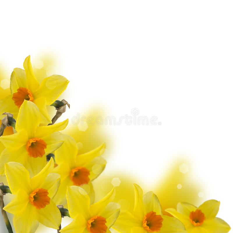 Fresh spring flowers of daffodils stock image image of bloom download fresh spring flowers of daffodils stock image image of bloom flower 30632059 mightylinksfo