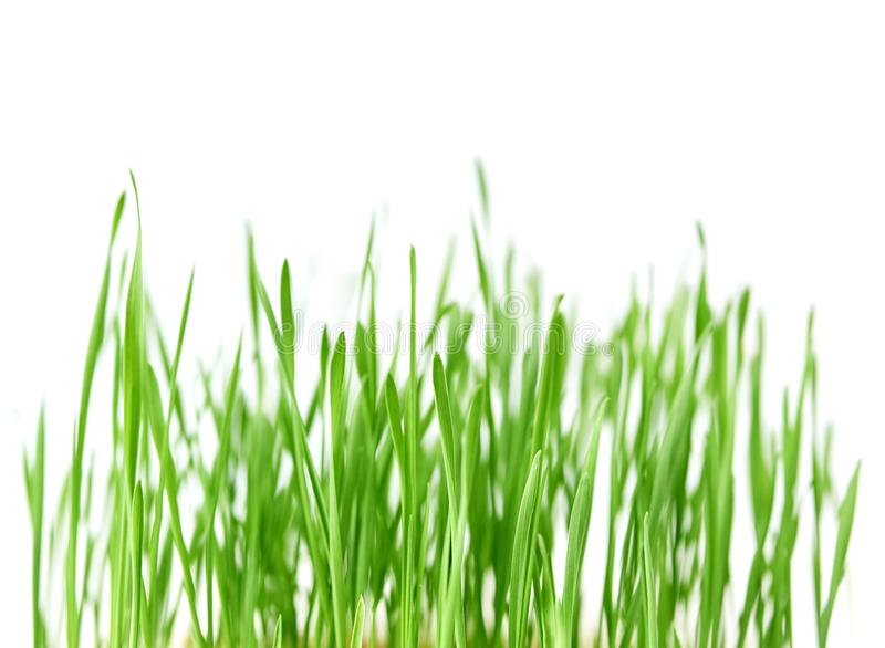 Fresh spring green grass with drops of dew, germination of wheat, isolated on white background stock photography