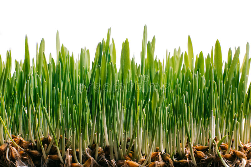 Fresh spring green grass and germinated seeds royalty free stock photography