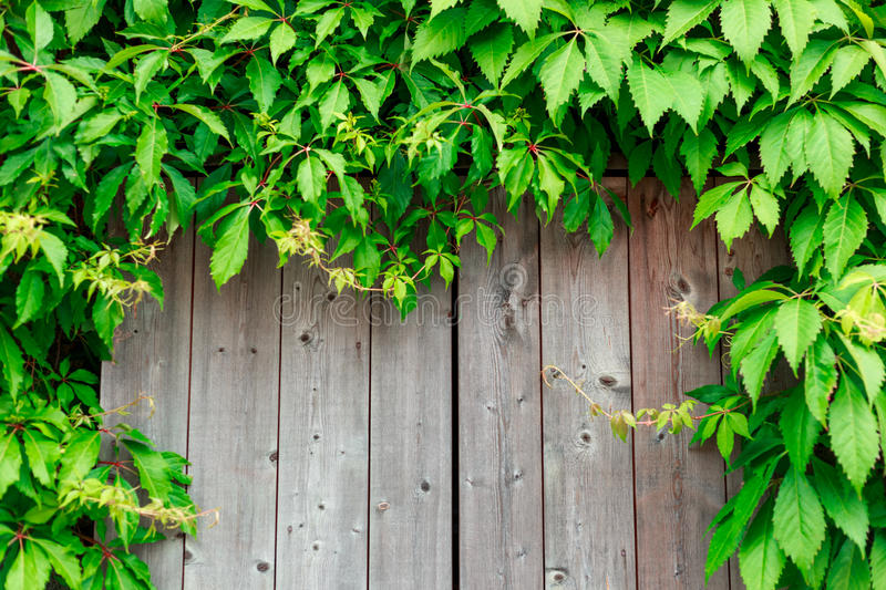 Fresh spring green grass and leaf plant over wood fence royalty free stock photo