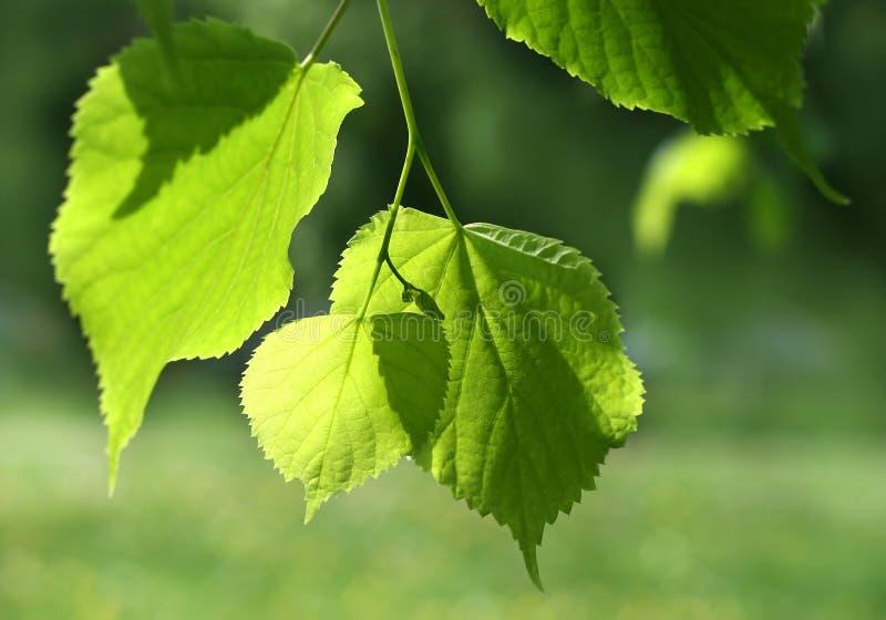 Fresh Spring Leaves Royalty Free Stock Photo