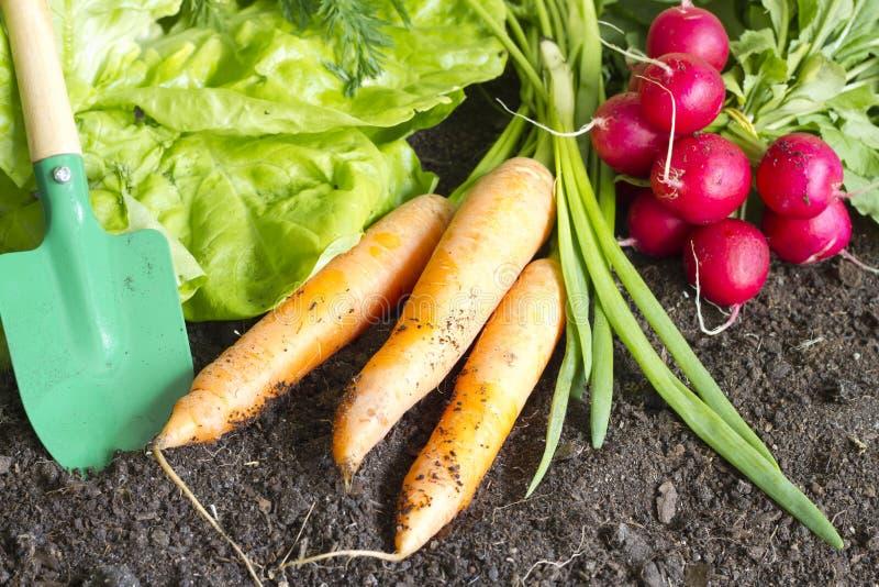 Fresh spring organic vegetables on the soil in the garden royalty free stock image