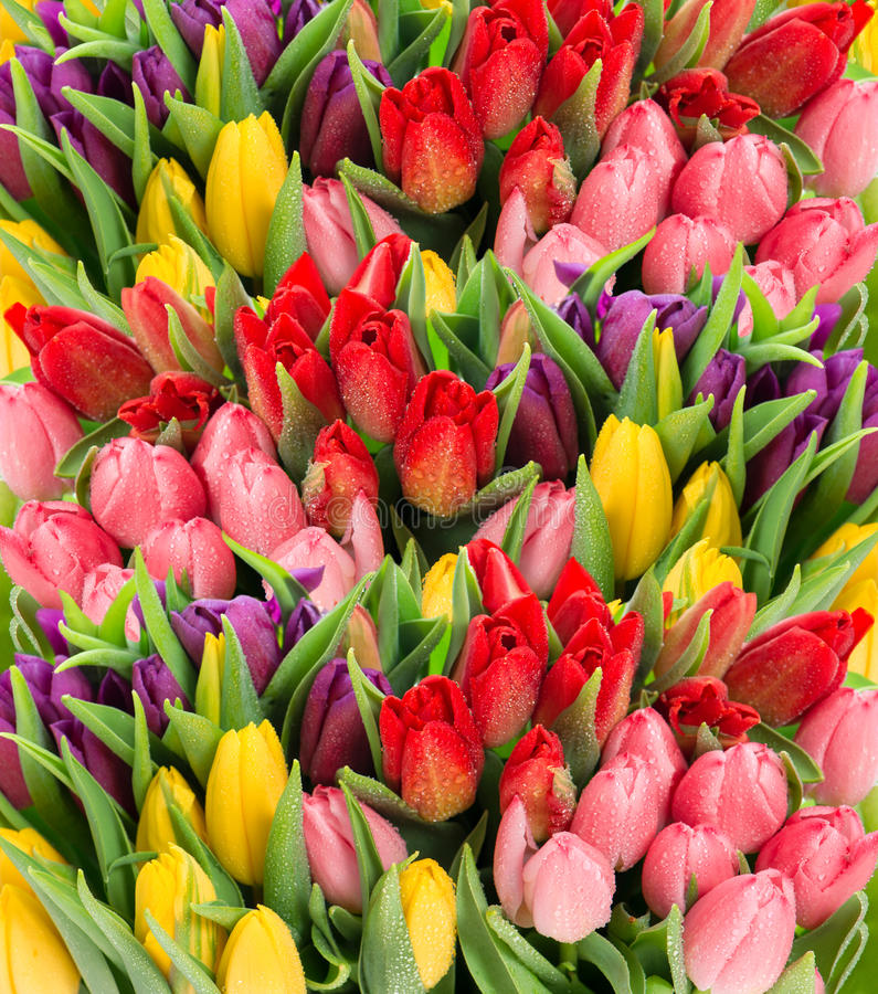 Fresh Spring Tulip Flowers With Water Drops Stock Images