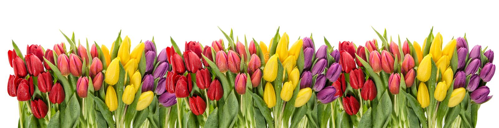 Fresh spring tulips water drops. Flower border. Fresh spring tulips with water drops. Flower border stock photo
