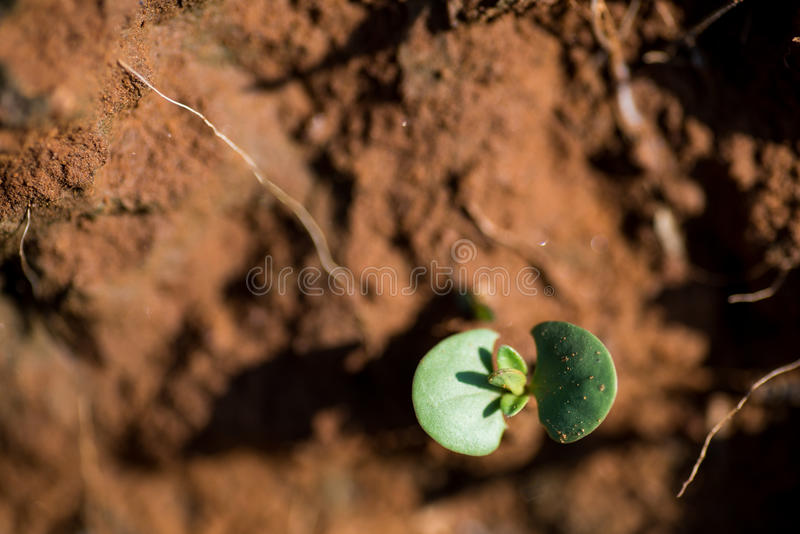 Fresh Sprout. Just sprouted from the ground zero. Standing alone, asserting itself stock images