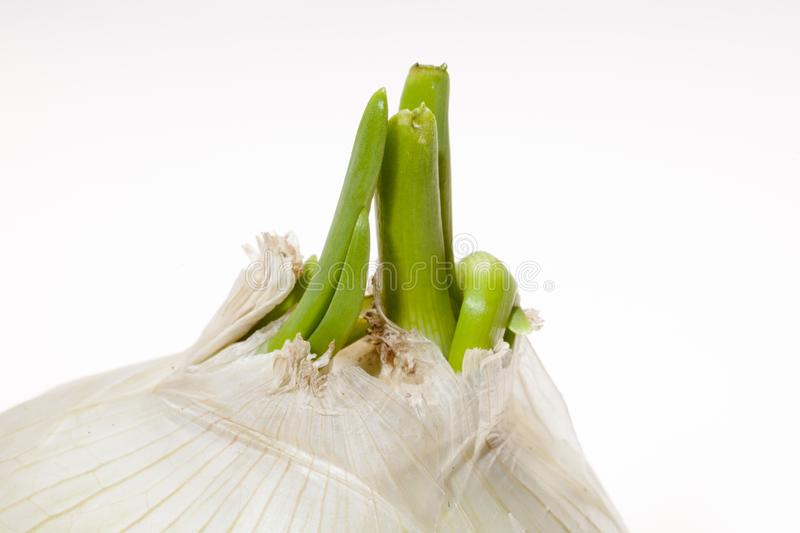 Fresh sprouted onion with flakes isolated on white stock photos