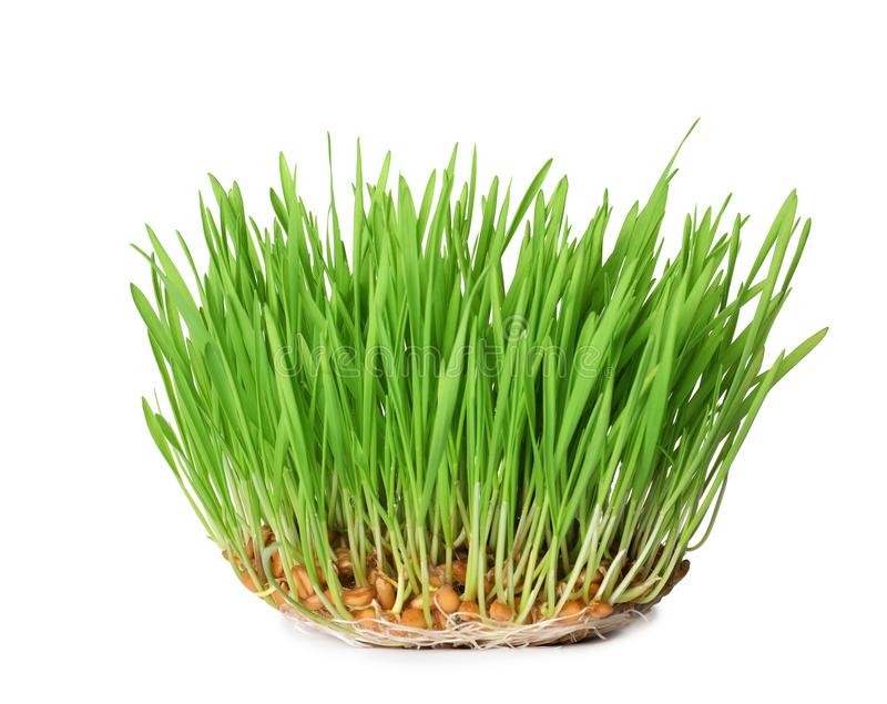 Fresh sprouted wheat grass isolated. On white stock photo
