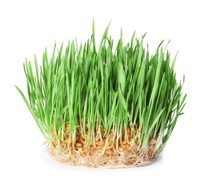 Fresh sprouted wheat grass isolated. On white royalty free stock images