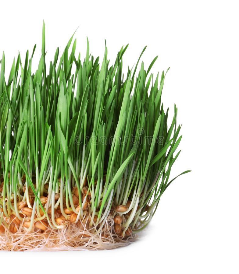 Fresh sprouted wheat grass on white. Fresh sprouted wheat grass isolated on white stock photo