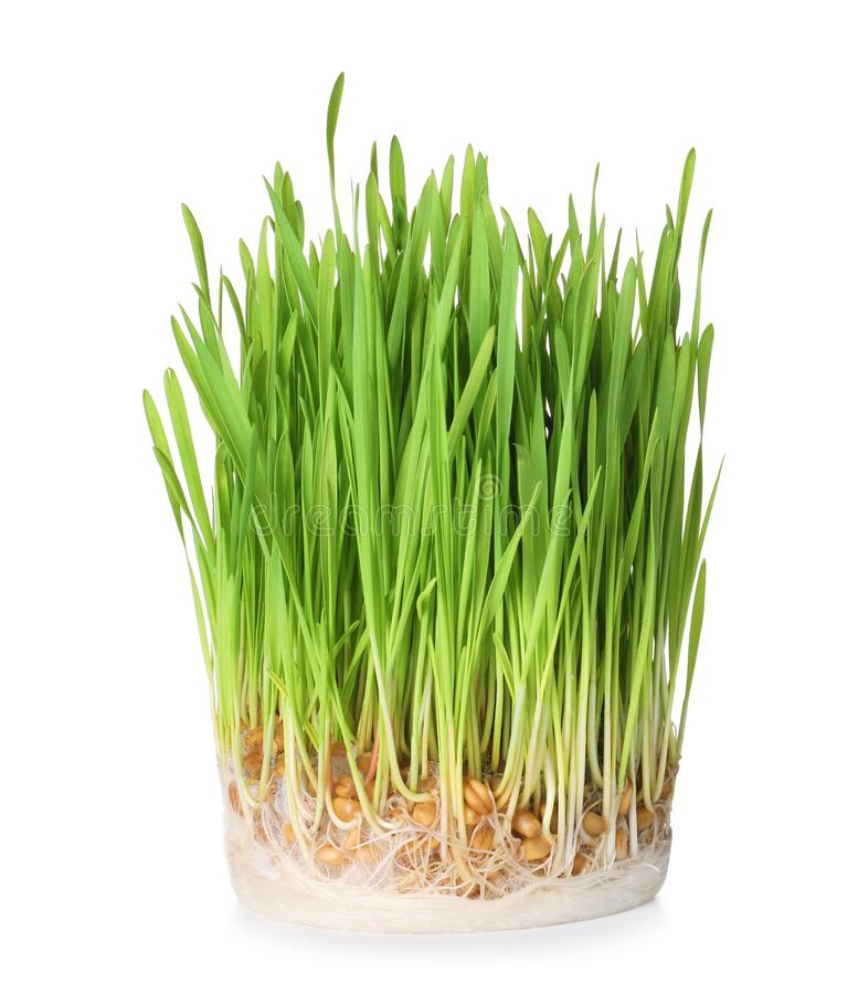 Fresh sprouted wheat grass on white. Fresh sprouted wheat grass isolated on white stock photos