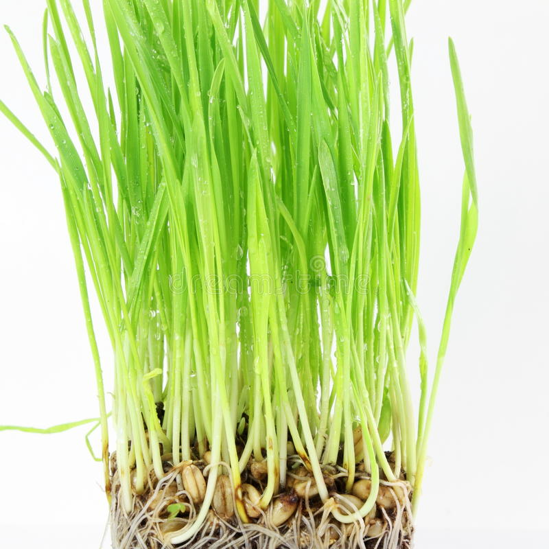 Free Fresh Sprouted Wheat Grass With Water Drops In White Background Royalty Free Stock Photos - 69261628