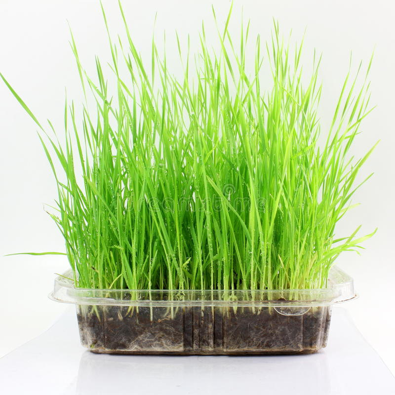 Free Fresh Sprouted Wheat Grass With Water Drops In White Background Royalty Free Stock Image - 69261666