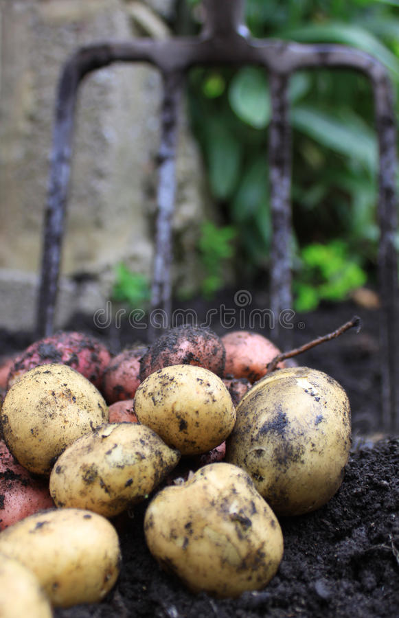 Fresh Spuds royalty free stock photography