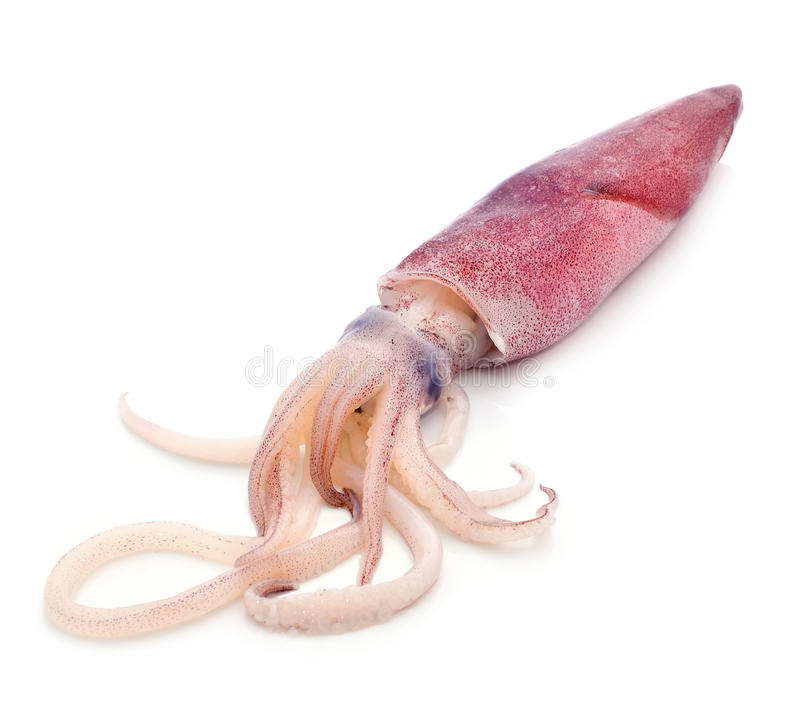 Fresh squid royalty free stock photo