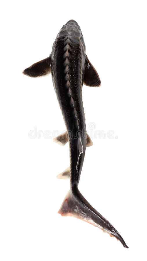 Fresh sterlet fish stock photo