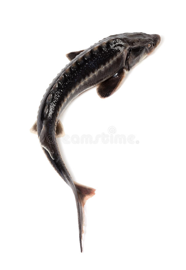 Fresh sterlet fish stock image