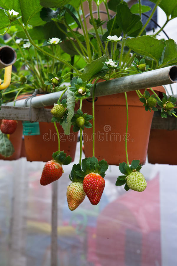 Fresh Strawberries. Strawberries with shallow depth of field in a strawberry farm in Cameron Highlands Malaysia stock photography