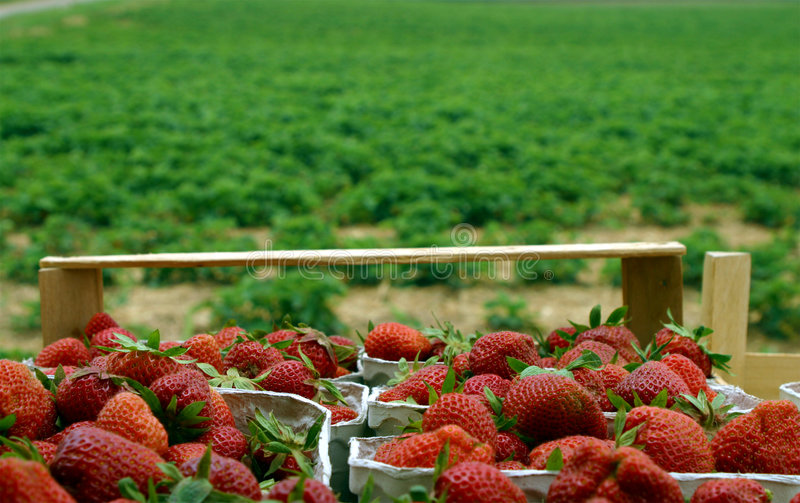 Fresh strawberries from field. Fresh strawberries collected in baskets, with a strawberry field in the background royalty free stock photography