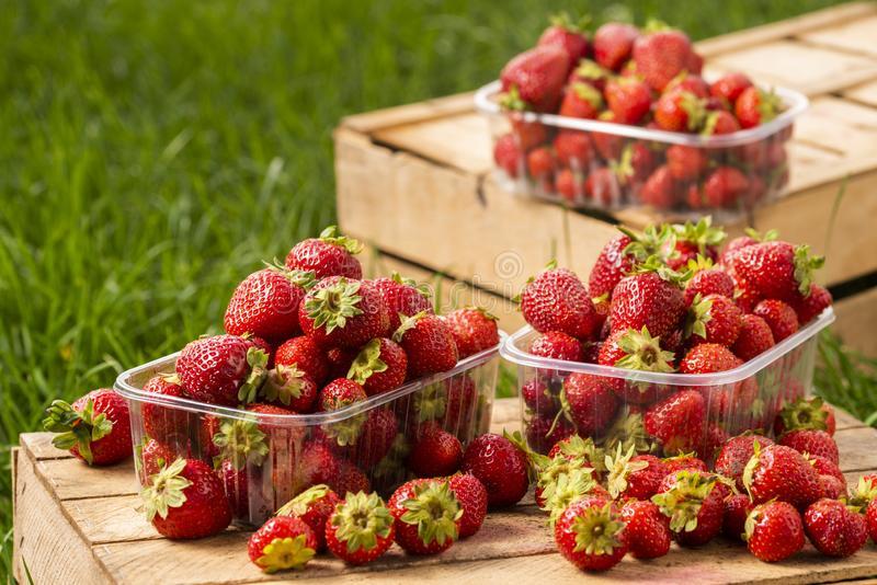Fresh strawberries from the garden when harvesting on wooden boxes royalty free stock photos