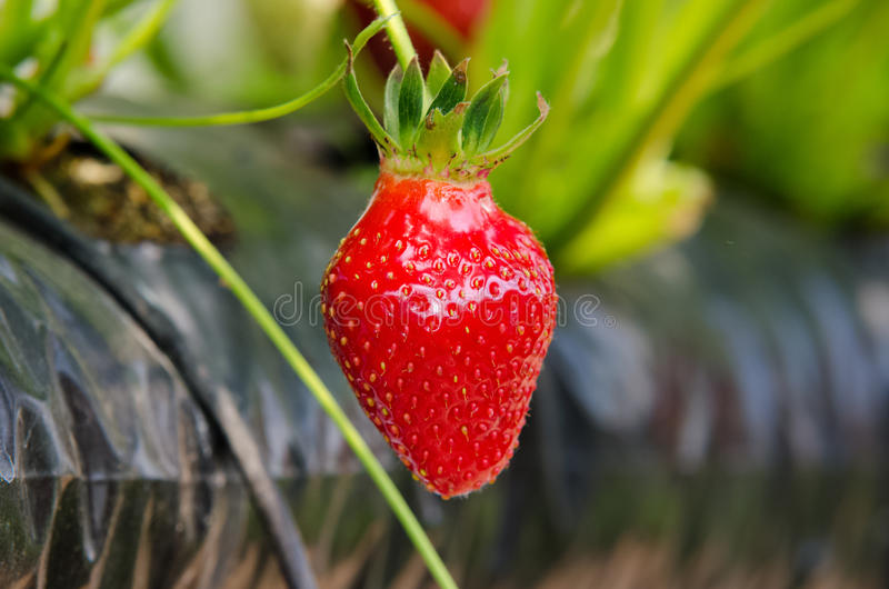 Fresh strawberries. That are grown in greenhouses stock images