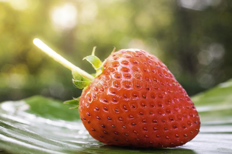 Fresh strawberries are placed on banana leaves with water drops. In the morning sun Green tree bokeh as background stock photos
