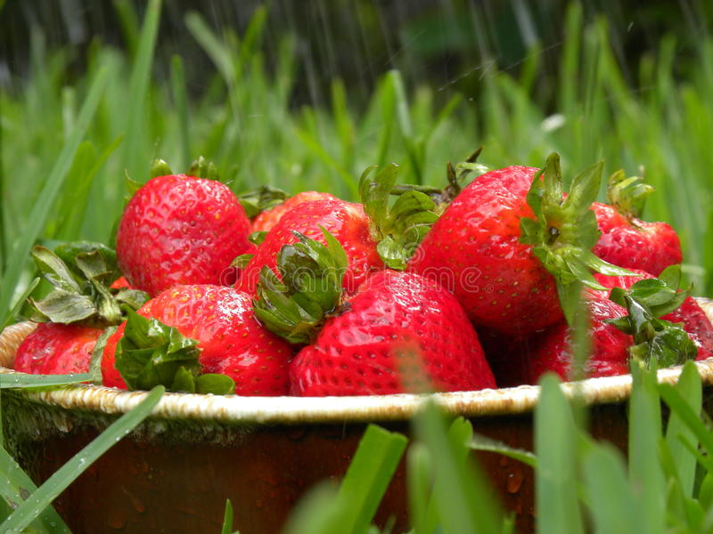 Fresh Strawberries In Rain Royalty Free Stock Photos