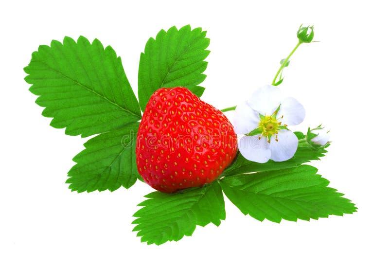 Download Fresh strawberry stock image. Image of single, purple - 14857349