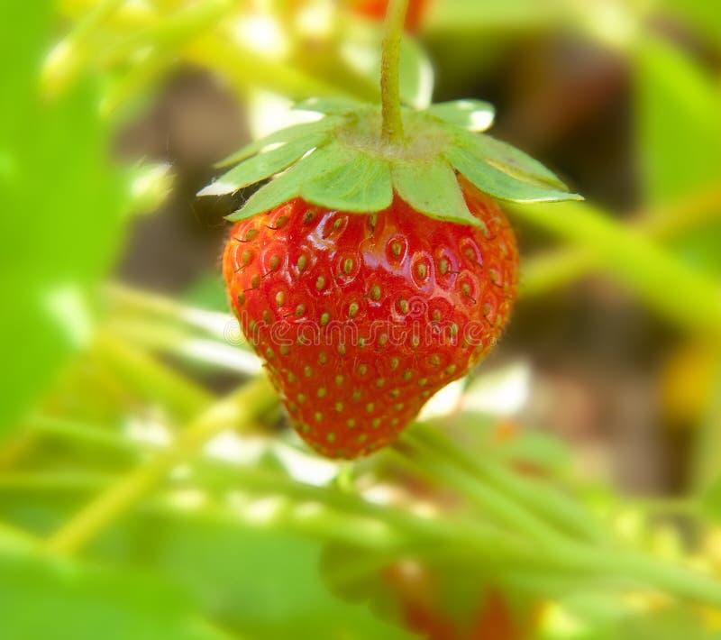 Fresh strawberry.