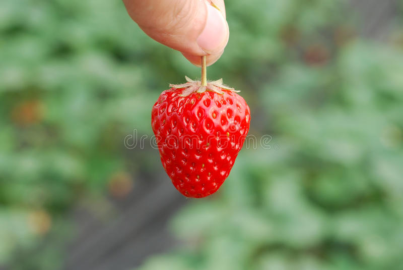 Strawbeery. A fresh strawberry in hand royalty free stock photography
